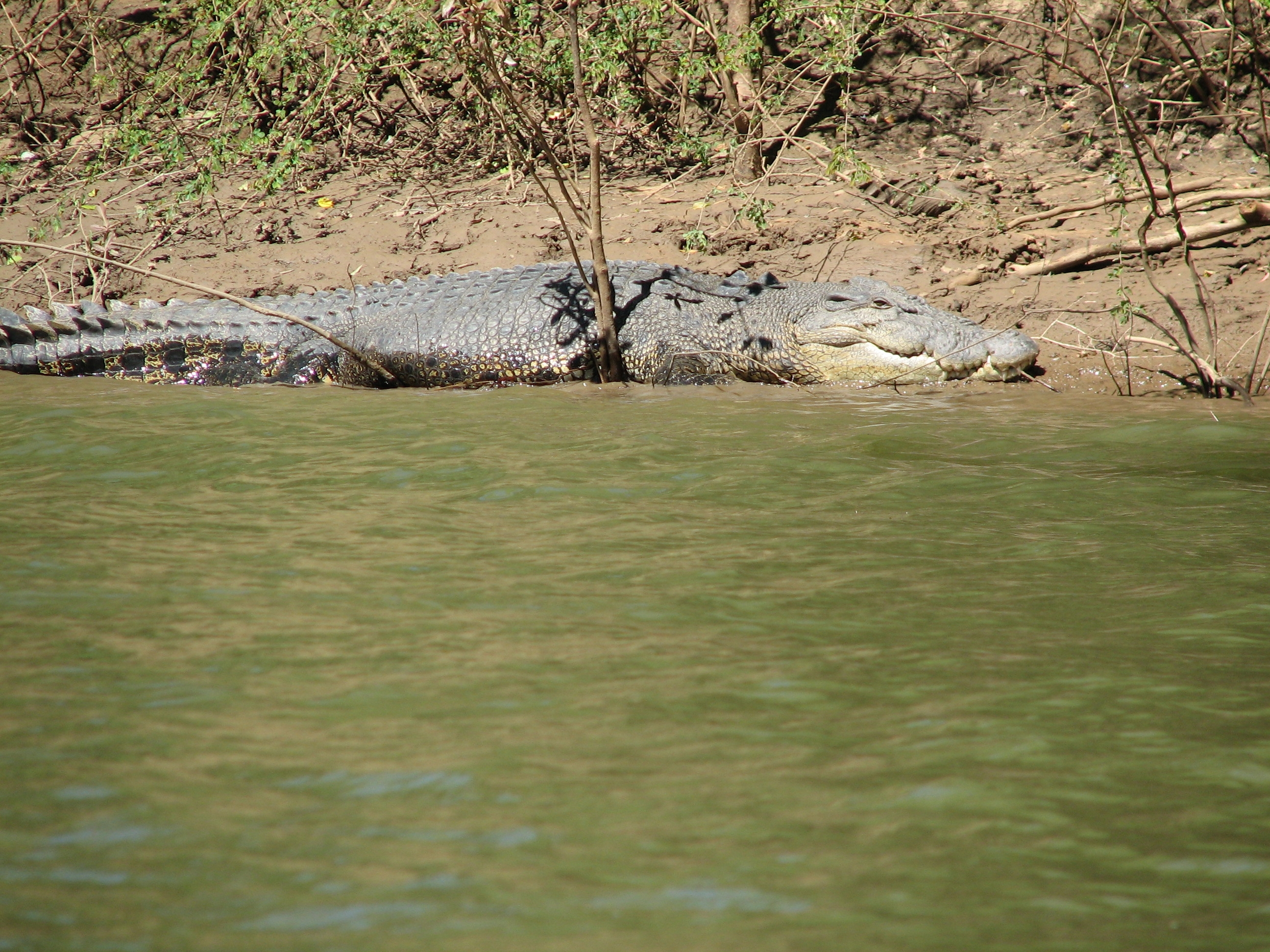 Croc Daly River 21
